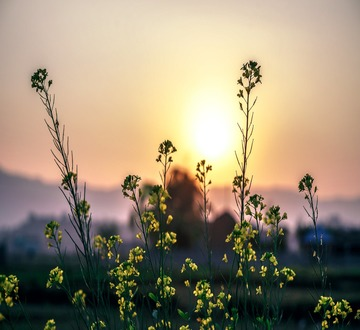 Flowers in front of sunrise